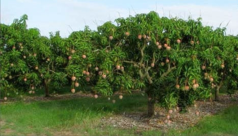 Grown Fruit Trees at Farm Village